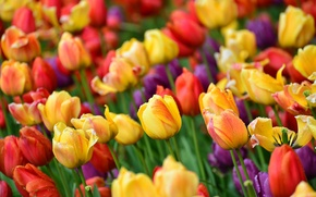 Wallpaper tulips, buds, colorful