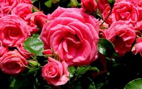 Wallpaper pink, roses, buds