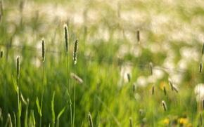 Wallpaper bokeh, macro, glare, grass, spikelets