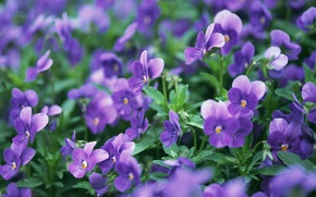 Picture macro, flowers, nature, glade, purple, Pansy