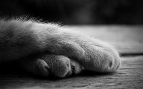 Picture cat, paws, lies