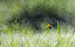 Picture flower, grass, yellow, glare, dandelion