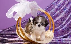 Picture basket, puppy, bow, Shih Tzu