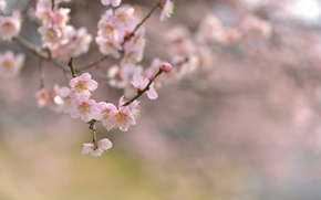 Picture flowers, nature, cherry, tree, focus, branch, spring, flowering