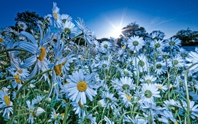 Picture flowers, rays, sun, Daisies