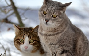 Picture snow, cats, cats, walk, two