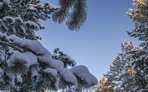 Picture snow, tree, Pine, covered, snow
