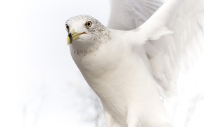 Picture white, dove, wings, beak, stroke