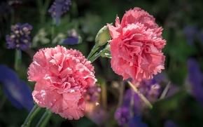 Picture water, drops, macro, nature, Rosa, petals, Bud, carnation