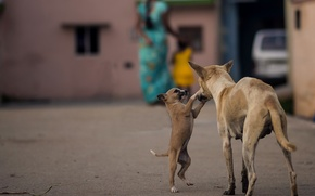 Picture dogs, India, puppy