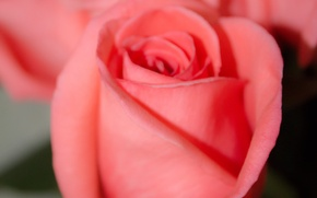 Picture flowers, background, pink, roses, Bud