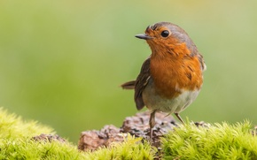 Picture wet, feathers, bird, Robin, Robin