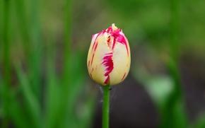 Picture flower, Tulip, stem, Bud, bokeh