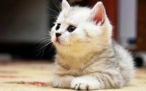 Picture lies, British, Tabby kitten