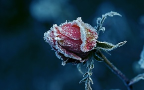Picture frost, rose, Bud