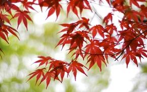 Wallpaper red, Osaka, Japan, leaves, bokeh, blur, tree, maple, glare, branches
