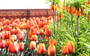 Picture summer, leaves, flowers, stems, the fence, Tulip, petals, buds, flowerbed, Botanical garden, Fritillaria