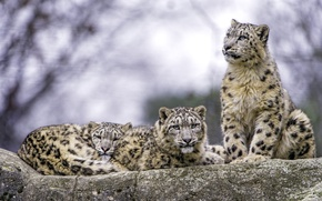 Wallpaper predators, IRBIS, snow leopard, trio
