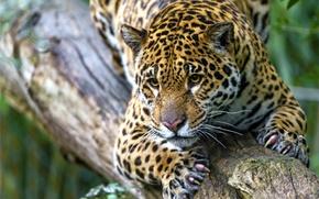 Picture face, predator, spot, claws, Jaguar