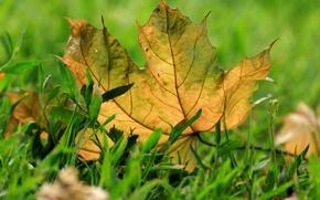 Picture autumn, grass, macro, sheet