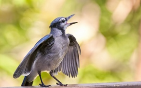 Picture macro, surface, wings, bird, Juvenile Blue Jay