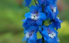 Wallpaper macro, blue, delphinium