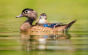 Picture water, duck, duck, little, swimming