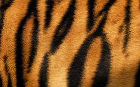 Picture tiger, strip, wool, fur