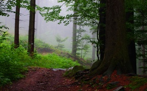 Picture forest, trees, fog, path