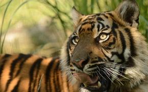 Picture language, face, predator, pussy, © Anne-Marie Kalus, Sumatran tiger