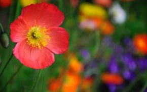 Wallpaper red, macro, flower