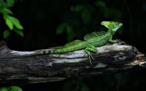 Picture animals, green, branch, lizard, reptile, Basilisk, basiliscus