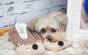 Picture look, dog, wool, mirror, Slippers