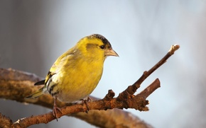 Picture nature, bird, Chizh
