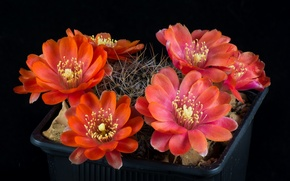 Picture flowers, background, black, cactus