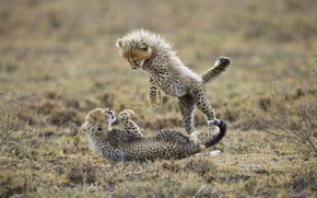 Picture the game, predators, kittens, cheetahs, cubs