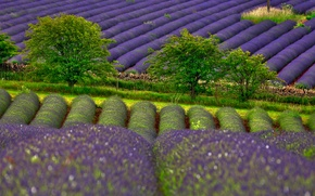Picture field, trees, lavender, nature