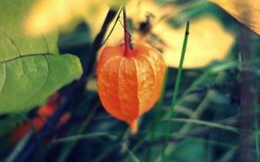 Picture leaves, macro, orange, background, tree, Wallpaper, plant, physalis, Chinese lantern
