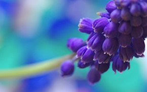 Picture flower, macro, blue, nature, blue, color, spring, Muscari