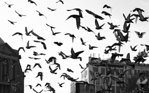 Picture WINGS, FLIGHT, HOME, PACK, BUILDING, BIRDS, PIGEONS