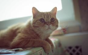 Picture mustache, look, red, looks, ears, ears, eyes, cat