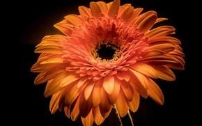 Picture flower, background, paint, petals, gerbera