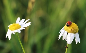 Picture flowers, insects, ladybug, chamomile