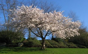 Picture white, cherry, Tree, Sakura