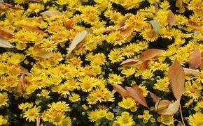 Picture autumn, flower, leaves, flowers, sheet, background, widescreen, wallpaper, widescreen, background, full screen, HD wallpapers, widescreen, …