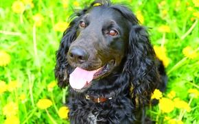 Picture dogs, dog, Spaniel, black dog, Cocker Spaniel