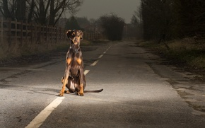 Picture road, look, each, dog