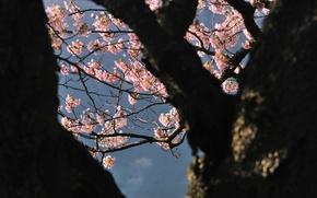 Picture tree, Japan, Sakura