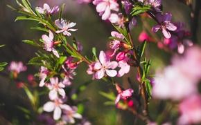 Picture flower, spring, Jasmine