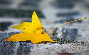Picture yellow, sheet, background, blur, autumn, maple